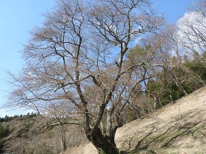 0409大山桜.jpg