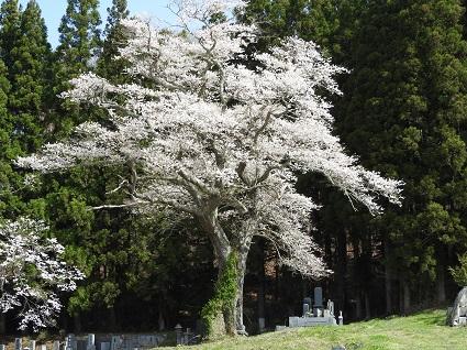 0416種まき桜.jpg