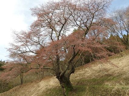 0416大山桜1.jpg