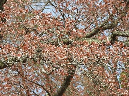 0416大山桜2.jpg