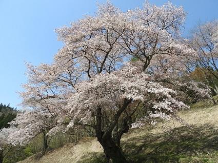 0420新田大山桜1.jpg