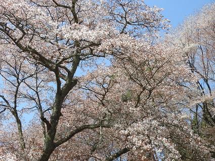0420新田大山桜2.jpg