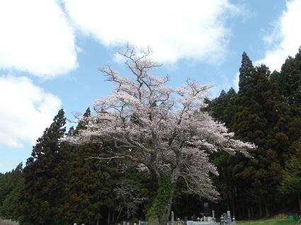 種まき桜�.JPG
