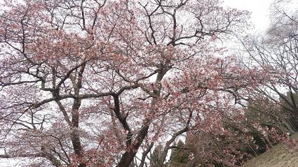 大山桜�.jpg