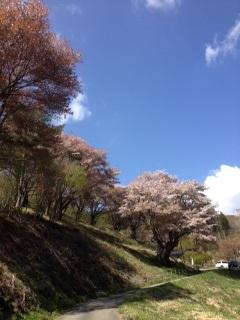 5月2日大山桜入口.jpeg