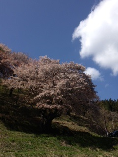 5月2日大山桜1.jpeg