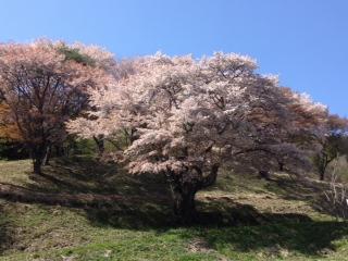 5月2日大山桜2.JPG