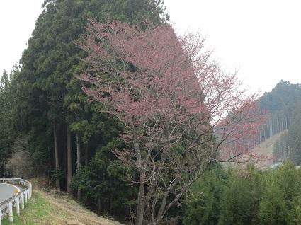H29.4.17ふうぬき紅桜(上市萱) (1).jpg