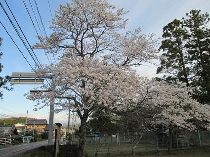 H29.4.20合戸集会所桜 (resize).jpg