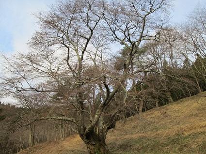 H29.4.20大山桜 (resize).jpg