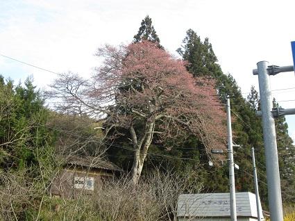 H29.4.20上三坂種まき桜(resize).jpg