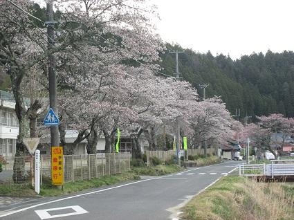 H29.4.20下市萱三和小桜.(resize)jpg.jpg
