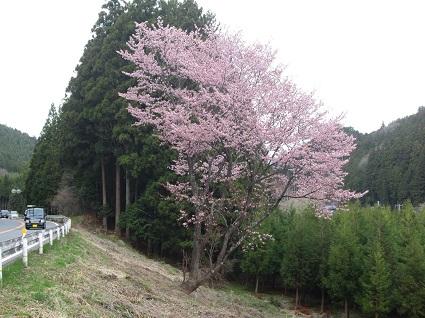 H29.4.20上市萱ふうぬき紅桜 (resize).jpg