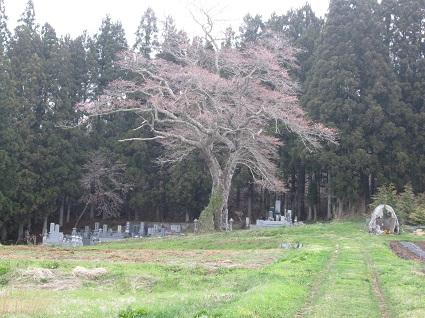 H29.4.20下三坂種まき桜 (resize).jpg