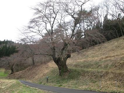 H29.4.21大山桜全景.jpg