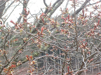 H29.4.21大山桜つぼみ.jpg